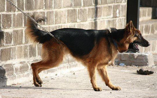 German Shephard, Dog, Canine, Pet, Mammal, Breed