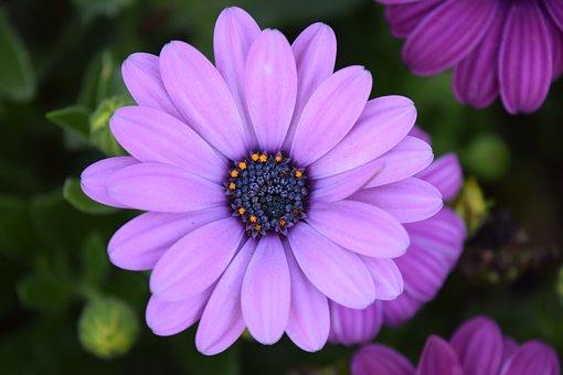 Cape Basket, Pink, Flowers, Nature, Garden, Summer
