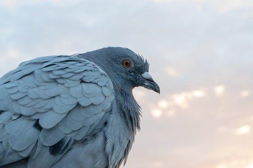 Dove, Bird, Plumage, Feathers Gray