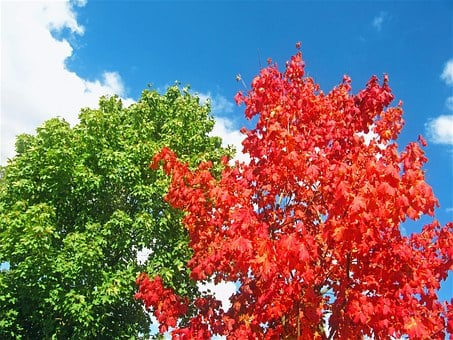 Maples, Red Tree, Two Trees, Early Autumn, Colorful