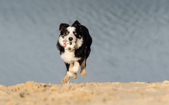 Border Collie, Young Dog, Running Dog, Playing Dog