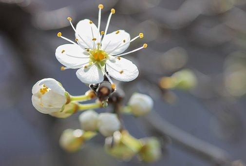 Flower, Blackthorn Blossom, Spring, Stamen, White