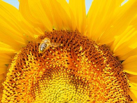 Bee, Approach, Landing, Landing Approach, Sunflower