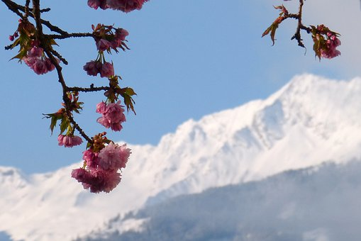 Zwölferkogel, High Tauern, Ornamental Cherry, Blossom