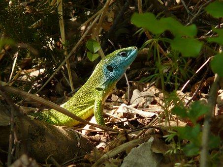 Emerald Lizard, Lizard, Reptile, Animal, Fauna