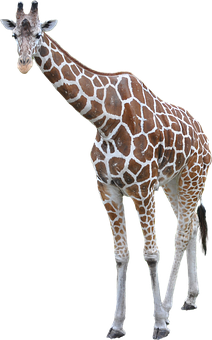 Giraffe, Animal, African, Large, Tall, Neck, Mammal