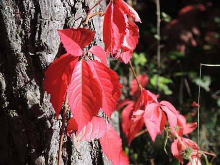 Wine Partner, Parthenocissus Quinquefolia, Red, Autumn