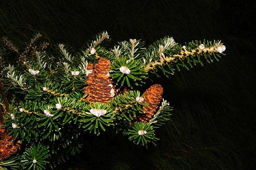 Fir, Tannenzweig, Pine Cones, Needles, Green, Branch