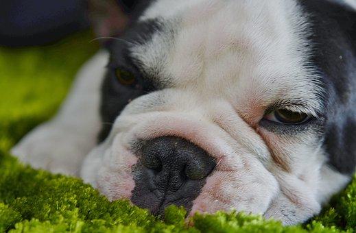 Dog, Bulldog, White, Tongue, Funny, Little Dog, Pet