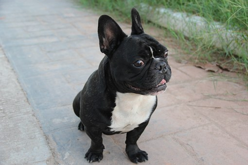 Filippo, Bulldog, French, Dog, Tender, Puppy, Cute
