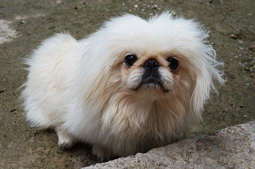 Pekingese, Dog, White, Right, Furry, Charming