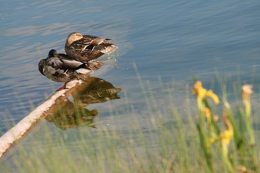 Ducks, Couple, Sleep, Rest, Water, Mirroring, Lake