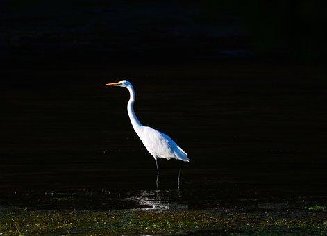 Egret, Birds, White, Herons, Wildlife, Alone, Single