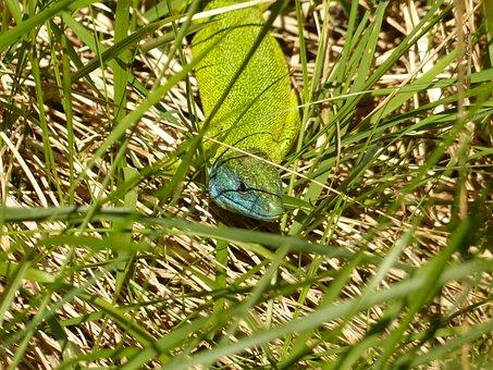 Emerald Lizard, European Green Lizard, Lacerta Viridis