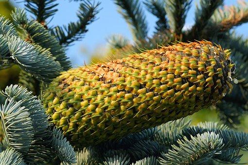 Fir, Pine Cones, Tap, Needles, Nature, Green