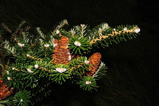 Fir Tree, Tannenzweig, Pine Cones, Needles, Green