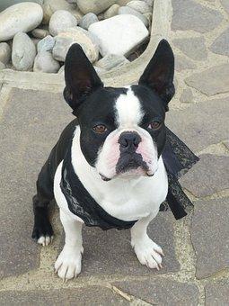 Dog, Boston Terrier, French Bulldog, Funny, Black White