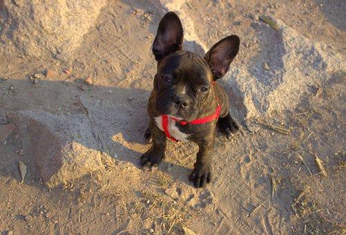 Bulldog, French Bulldog, Animal, Dog, French, Puppy