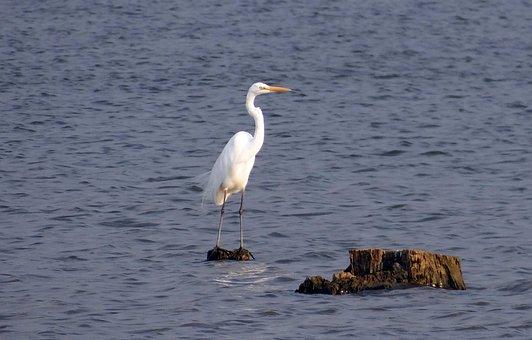 Great Egret, Ardea Alba, Large Egret, Great White Heron