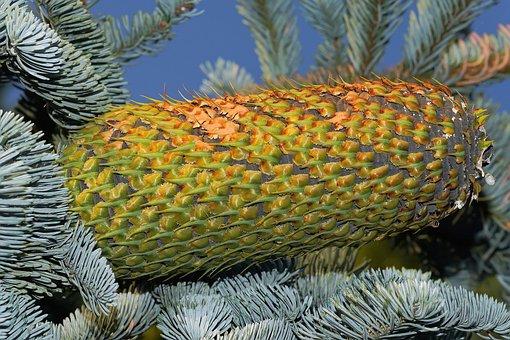 Fir, Pine Cones, Huge, Tap, Nature, Green