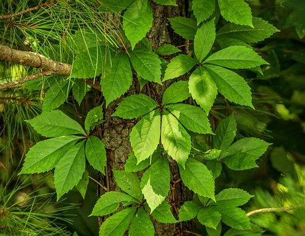 Virginia Creeper, Parthenocissus Quinquefolia