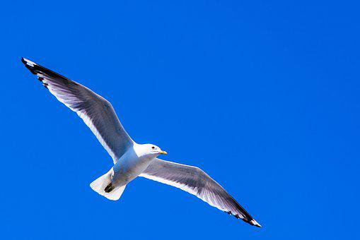Sea Gull, Bird, Wingspan, Sky, Fly, Wildlife, Freedom