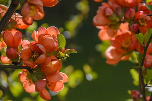 A Flowering Cotoneaster, Red, Flowers, Spring