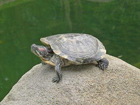 Turtle, Stone, Water, Island, Animal, Panzer