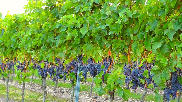 Vine, Vineyard, Winegrowing, Vines, Slope, Wine, Plant