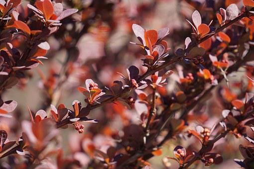 Barberry, Berberis Vulgaris, Vinegar Berry, Plant, Bush