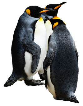 Penguin, King Penguin, Bird, Nature, Wild, Animal
