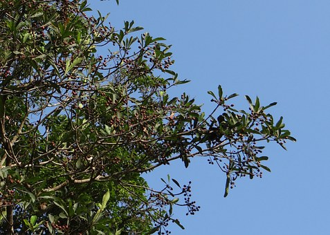 Aglaia Elaeagnoidea, Aglaia Roxburghiana