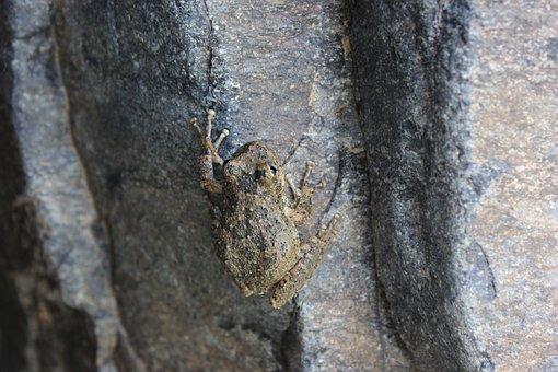 Frog, Amphibious, Croak, Nature, Animal, Green Frog