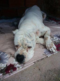 Boxer Dog, Sick Dog, Sad Dog, Dog, Sad, Canine, Animals