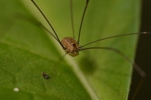 Weber Servant, Spider, Arachnid, Kanker, Schneider