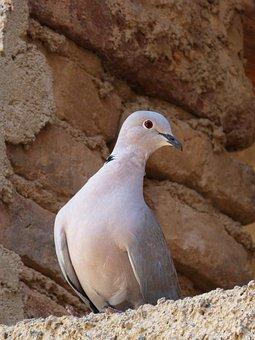 Turtledove, Bird, Tortola, Birds