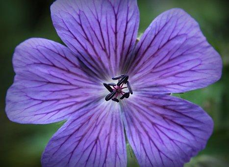 Cranesbill, Blue, Blossom, Bloom, Flower, Bloom, Flora
