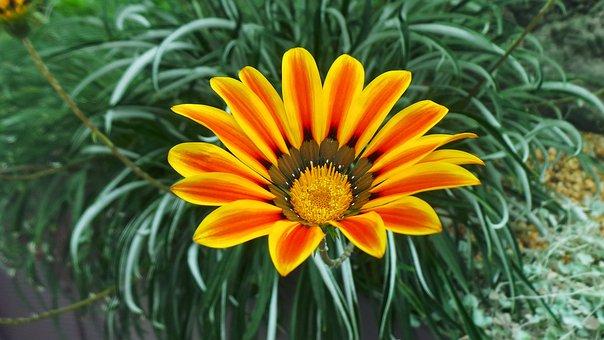 Asteraceae, Beautiful, Beauty, Bloom, Blossom