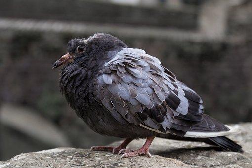 Bird, Dove, Sick Bird, Sick Pigeon, Disease, Fly