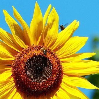 Sun Flower, Bee, In Flight, Bees, Flower Meadow