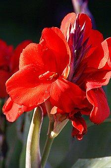 Kanna, Kanna Red, Flowers Red, Flowering, Closeup