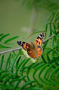 Painted Lady, Butterfly Resting In Plant, Green