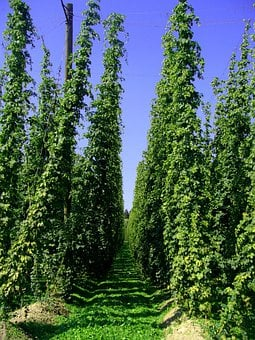 Hop Vines, Hops, Hop Garden, Holledau, Hallertau