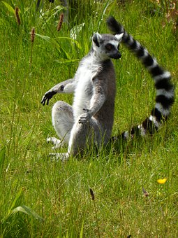 Ring Tailed Lemur, Prosimians, Lemurs, Sun Worshippers