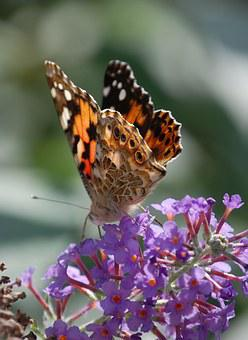 Butterfly, Insect, Painted Lady, Wildlife, Macro, Wings