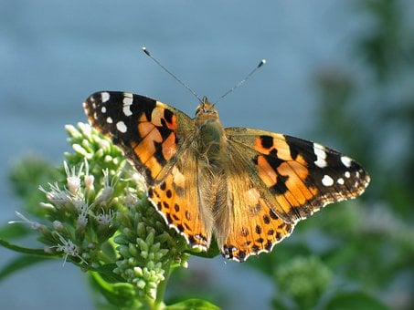 Butterfly, Orange, Painted Lady, Nature
