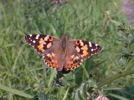 Butterfly, Painted Lady, Nature