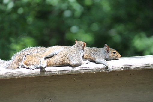 Squirrels, Nature, Rodent, Fur, Outdoor, Animal, Cute