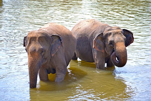 Baby Elephants, Elephants, Bath, Sun Bath, River Bath