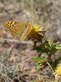 Butterfly, Maiden Waves, Marsh Fritillary, Thistle